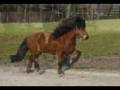 Conheça o pequeno grande cavalo Islandês