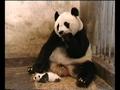 Panda constipado